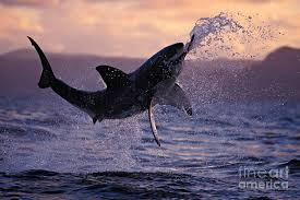 great white shark jumping. Fine Great Brandon Cole Photograph  One Great White Shark Jumping Out Of Ocean In An  Attack At P