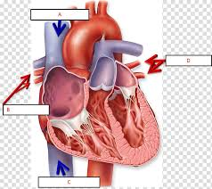 Anatomy Of The Heart Chart Anatomy Of The Heart Chart Human Body Diagram Heart