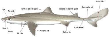 dogfish shark external anatomy spiny diagram tropicalspa co dogfish shark respiratory system diagram female morphology ac spiny dogfish shark external anatomy diagram
