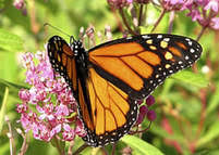How to Identify Milkweed <b>Plants</b> Quickly and Confidently - Save Our ...