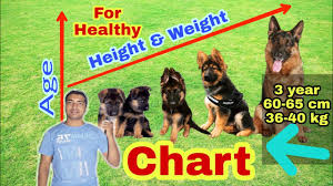 German Shepherd Height And Weight Chart