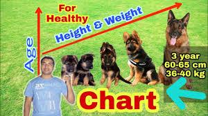 German Shepherd Weight Chart German Shepherd Height And Weight Chart