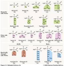 Mcat Amino Acid Chart Three Acronym Mnemonics For Remembering The Amino Acids