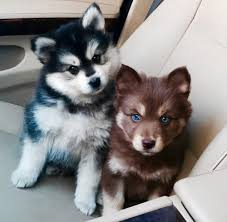 baby husky puppies tumblr. Brilliant Husky Dog Cute And Puppy Image Intended Baby Husky Puppies Tumblr I
