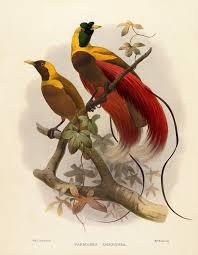 Hasil gambar untuk red bird of paradise