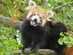 7 About 't You Didn Pandas Red Know Scientific Things Blog American XwgrqX