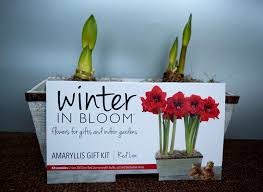 e with me on this amaryllis journey and enjoy the flower opening soon
