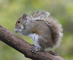 Squirrel Species Chart Eastern Gray Squirrel Wikipedia