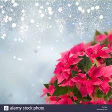 Rahmen Aus Rosa Weihnachtsstern Blume Oder Weihnachten