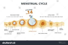 Ovulation Chart Image Ovulation Chart Female Menstrual Cycle Stock Vector Royalty
