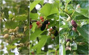Mulberry Leaves With Berries  Mulberry Trees Two Of Which Are Non Fruiting Mulberry Tree