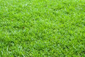 carpet grass. carpet grass t