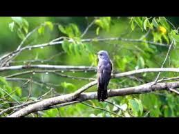 List download lagu mp3 lagu download suara burung prit gantil gratis streaming lagu terbaru. Suara Emprit Gantil Dialam Liar Youtube