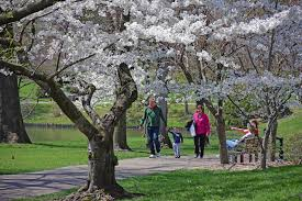 to enlarge mobot is gorgeous in cherry blossom season sundos schneider