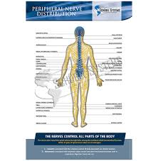 Nerve Chart Leg Posters In English Spinal Nerves Distribution Chart