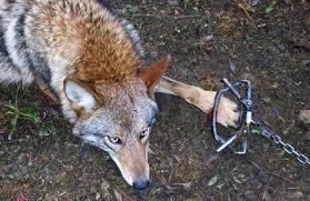 fox caught in trap ile ilgili görsel sonucu
