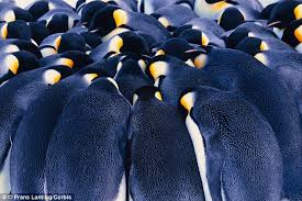 emperor penguin huddle. Delighful Huddle You Might Think Penguins Would Only Just Be Warm Enough When Huddled  Together To Survive The And Emperor Penguin Huddle E