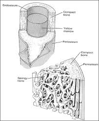 bone tissue bone tissue engineering
