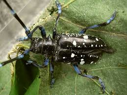 Asian Longhorned Beetle Umass Center For Agriculture Food And The