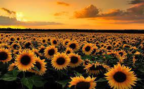 Sunflower wallpaper hd ...
