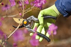marin master gardeners all about pruning