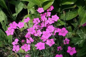 Dianthus deltoides - Wikipedia