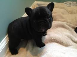 black french bulldog. Interesting French Black French Bulldog For French Bulldog A