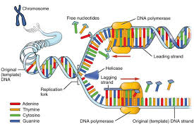 dna replication process and steps dna replication