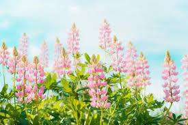 Pretty Lupines Flowers In Garden Or Park Over Blue Sky Background