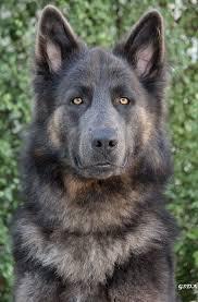black german shepherd puppies with blue eyes. Wonderful Shepherd Sable GSD Look At Those Eyes Beautiful To Black German Shepherd Puppies With Blue Eyes