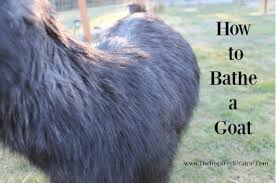 Goat Lice Natural Lice Removal For Goats Archives The Inspired Prairie