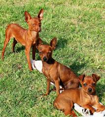 Ultimate Guide To Caring For My Miniature Pinscher Trudog