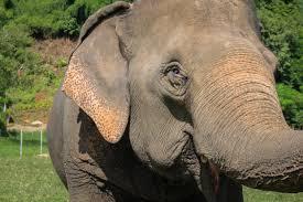 elephant essays