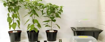 Mums The Word Mother Plants Blog Growell Hydroponics