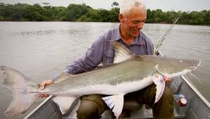 giant amazon river fish. Plain Amazon The Piraiba Is A Real Giant Amazon River Monster Fish And Sometime Called  As Freshwater  Intended Giant River Fish