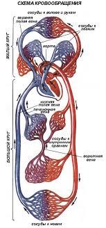 Кровообращение Движение крови в организме человека Биология Схема кровообращения