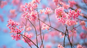 Microsoft Free Wallpaper Themes Get Cherry Blossoms Microsoft Store