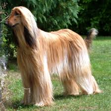 renza addicted to red renza addicted to red ured afghan hound breeders