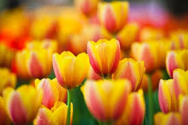 photo tulip flowers hd free stock