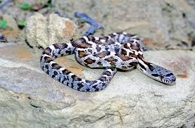 Snake With Diamond Pattern New Snake Identification Key Snake ATRN SNR University Of
