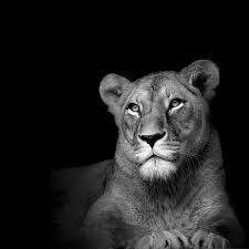 lioness black and white. Wonderful Lioness Image Result For Lioness Face Black And White Intended Lioness Black And White O