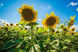 Semintele de Floarea Soarelui Biocrop - Hibrizi performanti