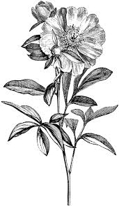 tumblr transparents black and white flowers.  Tumblr Transparent Black And White Flowers Tumblr With Transparents N