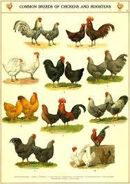 Chicken Breeds Chart Vintage Chicken Art Print Kitchen