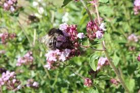 Resultado de imagen de flor tomillo miel