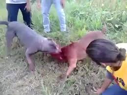 pitbull dog fights caught on tape. Contemporary Fights Pitbull Dog Fights In The Hood  Photo4 Intended Dog Fights Caught On Tape I