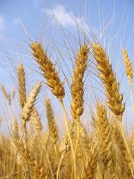 Определение мягкой и твёрдой пшеницы по колосу и зерну ХитАгро ru Пшеница мягкая