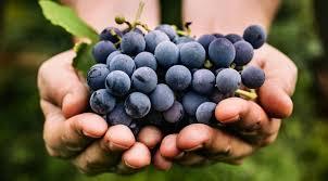 Resultado de imagem para como pronunciar os nomes das uvas vitis vinifera?