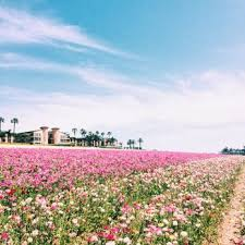 photo of the flower fields carlsbad ca united states