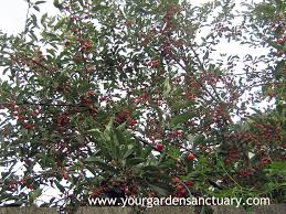 Gardentalk  Young Fruit Tree Care And FeedingCherry Fruit Tree Care